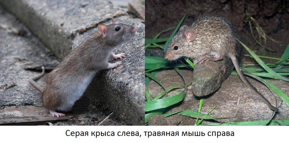 Чем отличается мышь от крысы фото