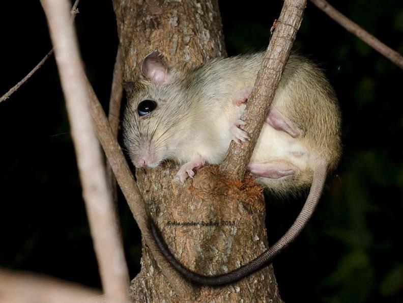 Чернохвостая крыса (пушистохвостая кроличья крыса) (лат. Conilurus penicillatus)