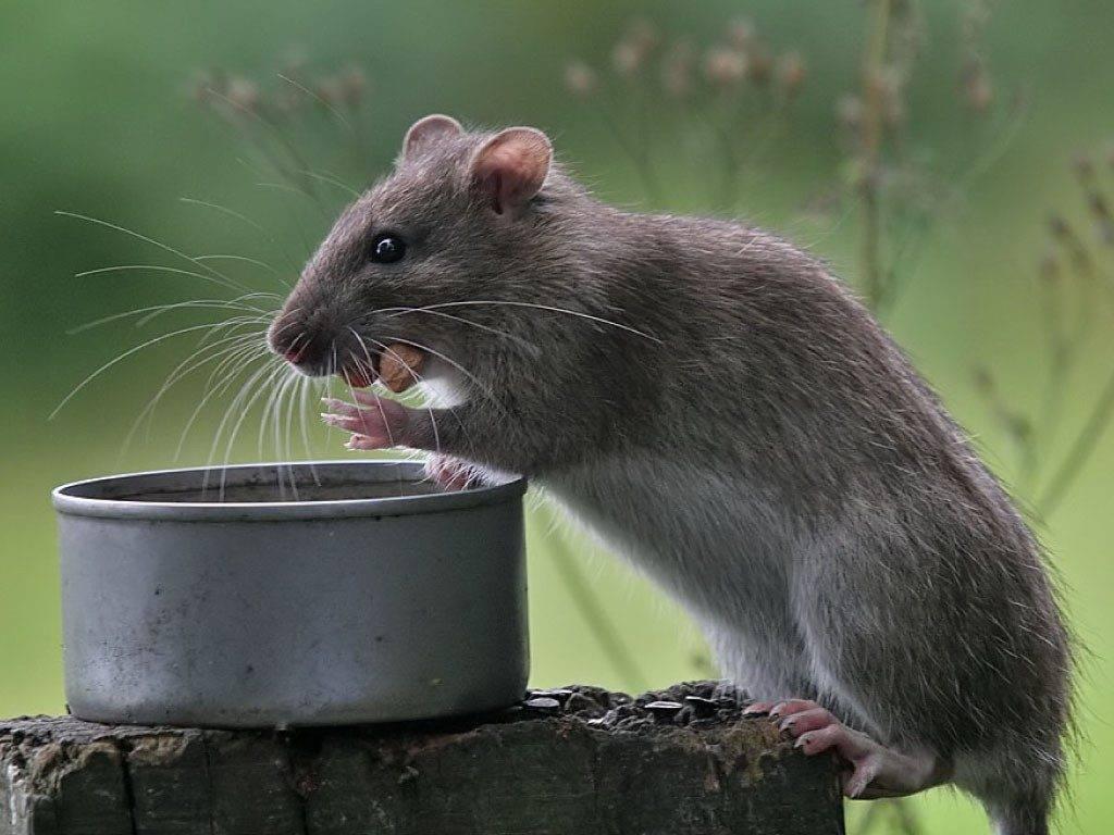 Что едят крысы фото