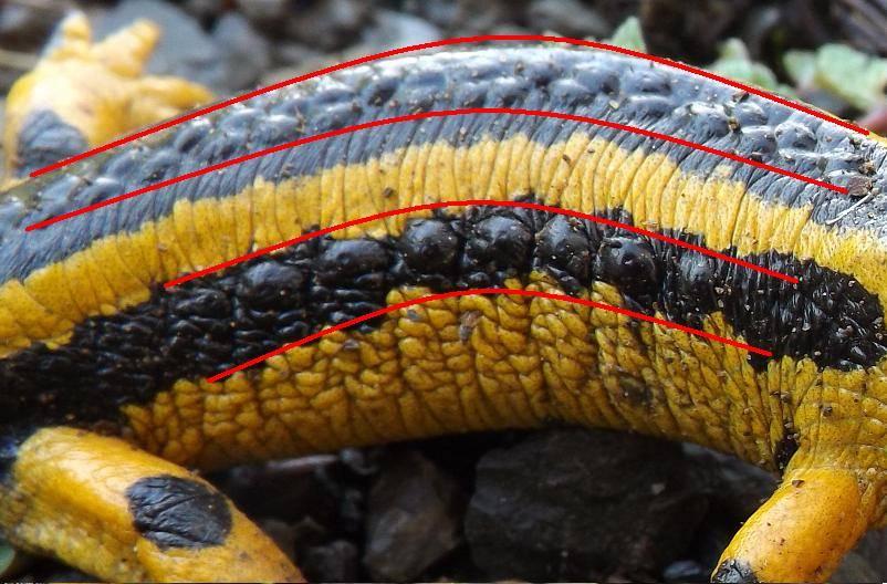 Ядовитые железы саламандры (выделены красным)