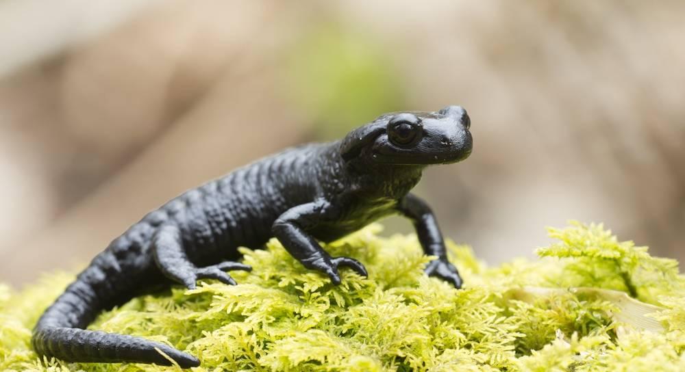 Альпийская саламандра (черная саламандра) (лат. Salamandra atra)