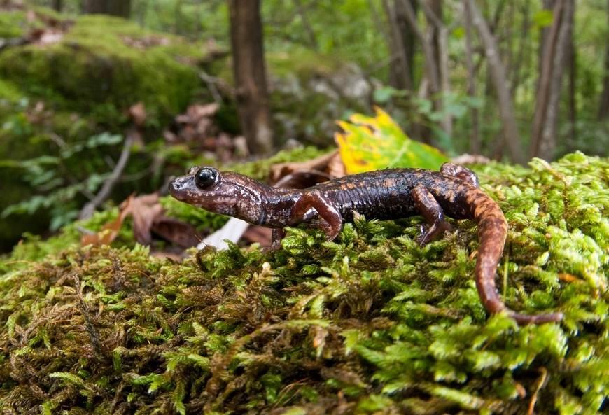 Амфибия саламандра Speleomantes flavus из рода Европейские пещерные саламандры