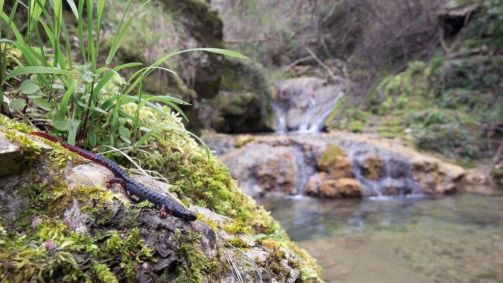 Ареал обитания саламандры