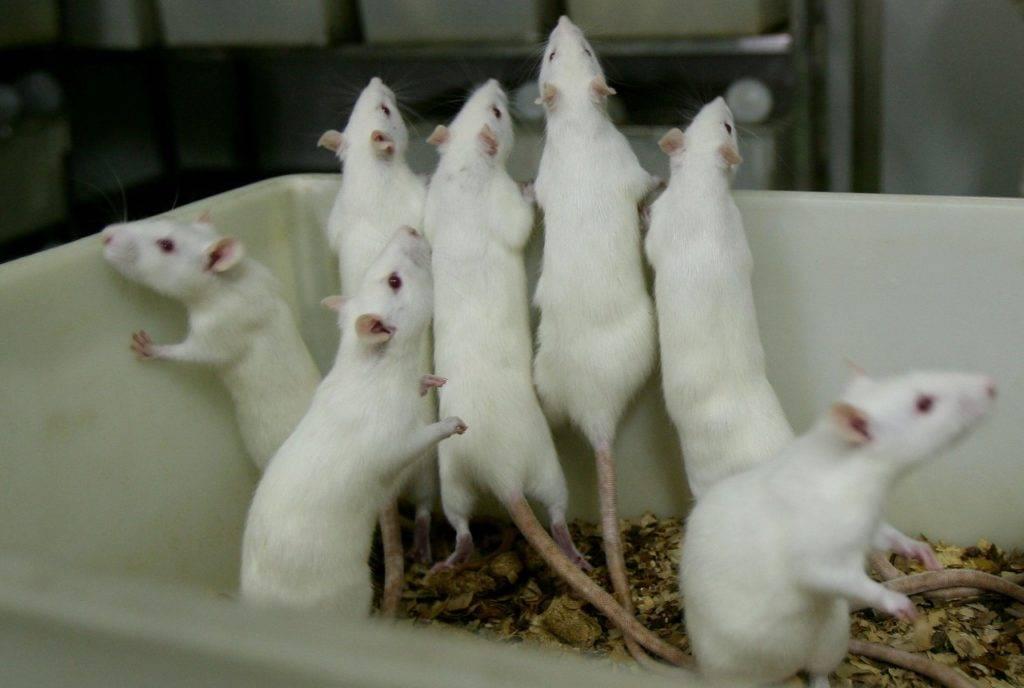 Белая лабораторная крыса фото