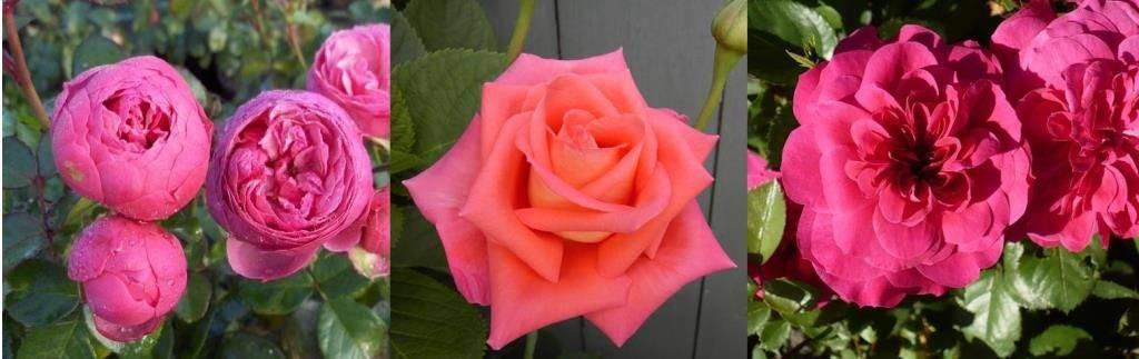 Виды роз фото