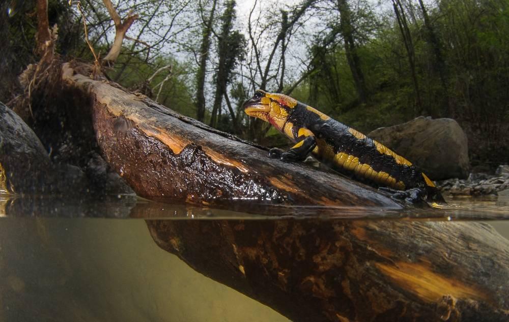 Где обитает саламандра
