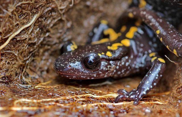Глаза саламандры фото
