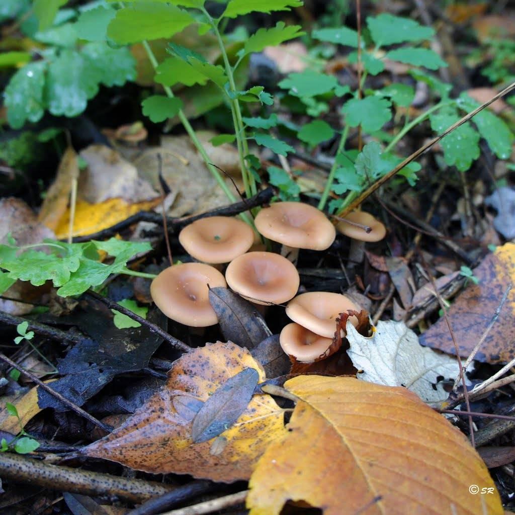 Говорушки грибы фото (на фото говорушка ворончатая)