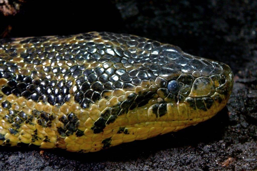 Голова анаконды фото