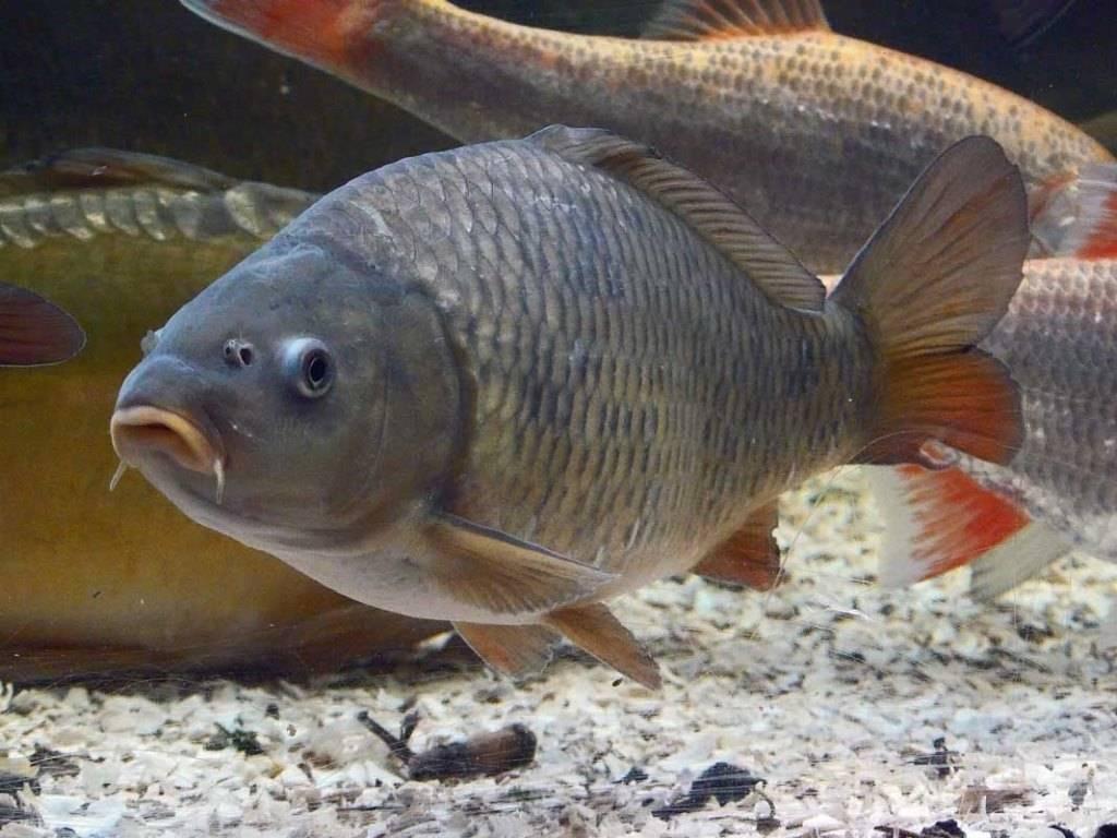 рыбы сазан фото