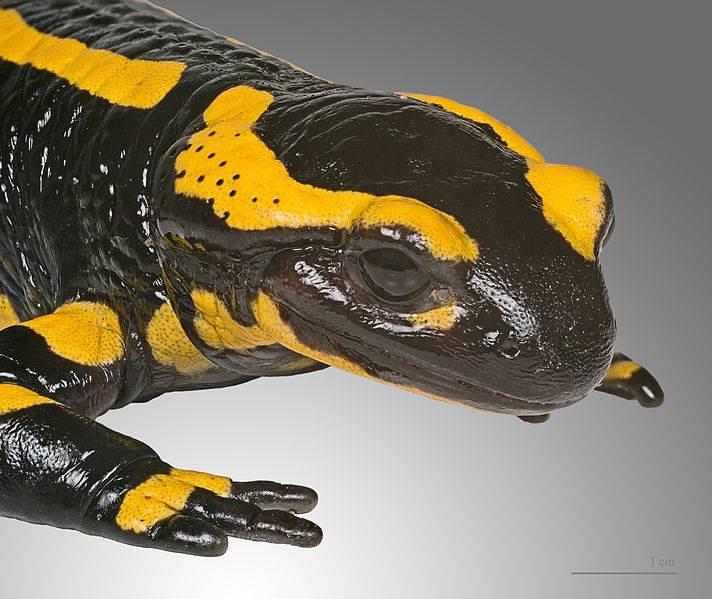 Голова саламандры