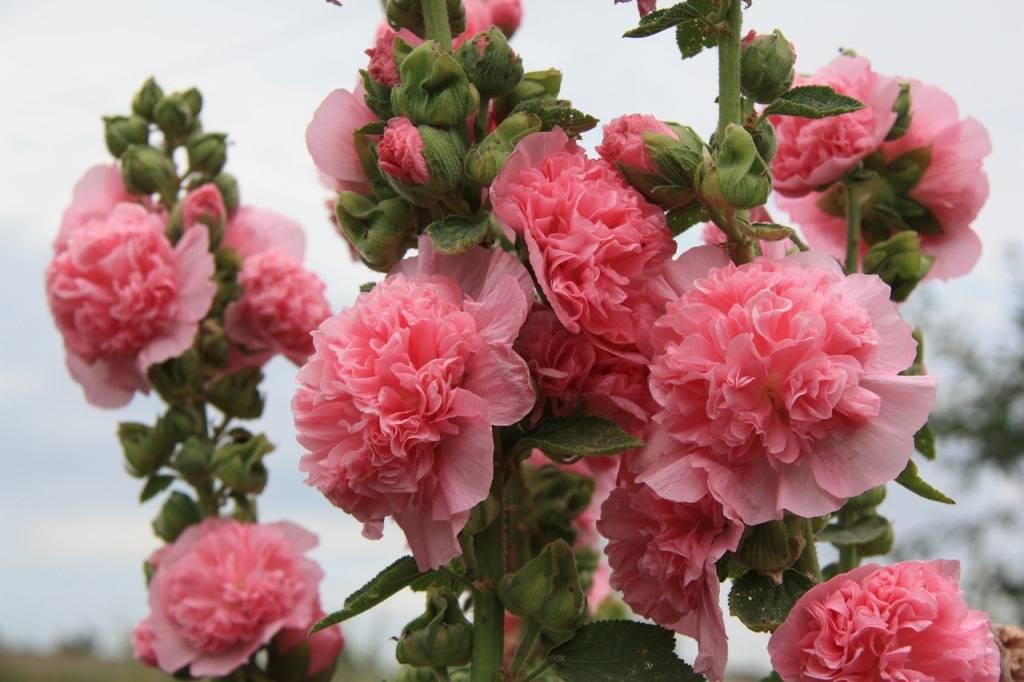 Цветок шток роза выращивание из семян 40