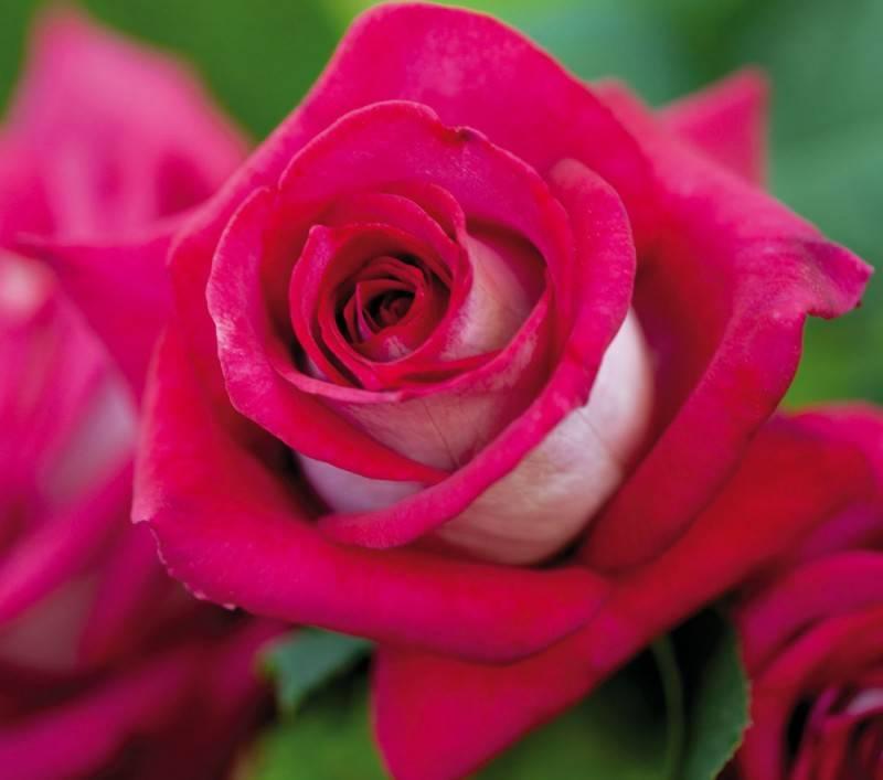 Двуцветная роза Monica Bellucci