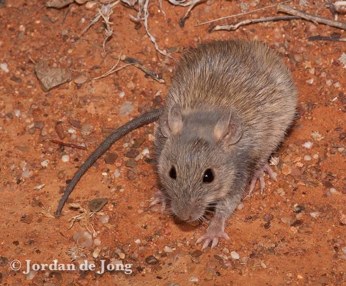 Длинноволосая крыса фото