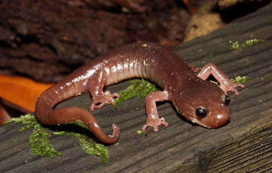 Древесная саламандра (лат. Aneides lugubris)