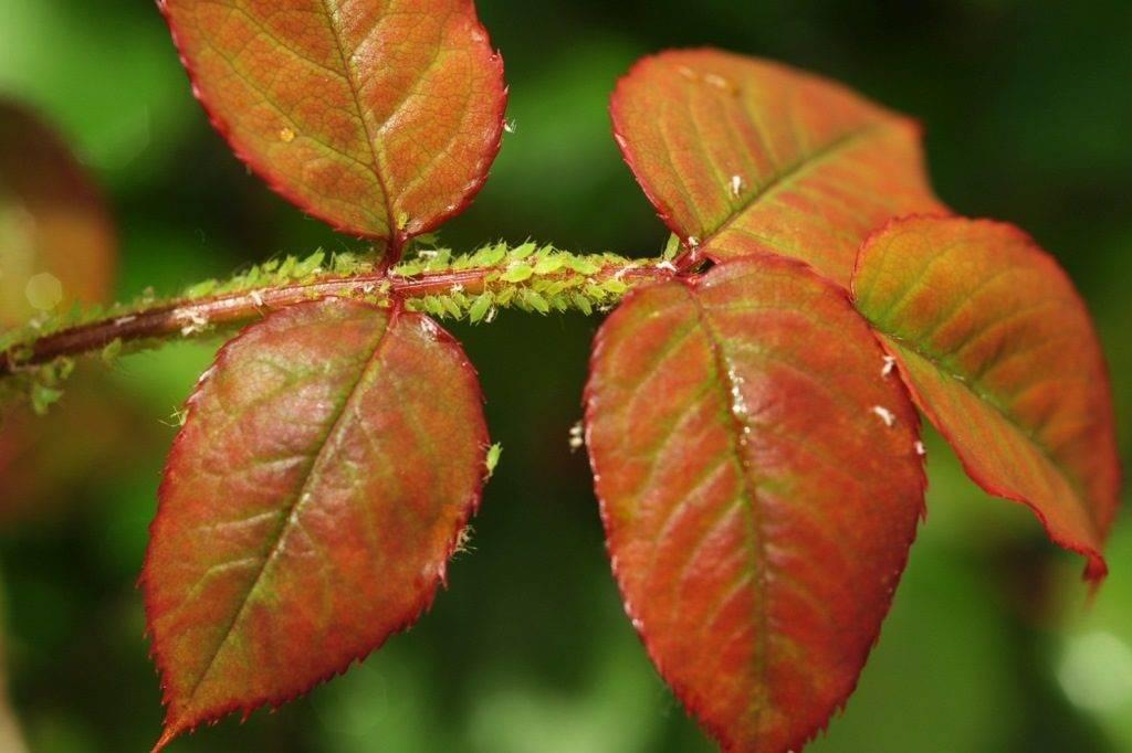 Зеленая розанная тля фото