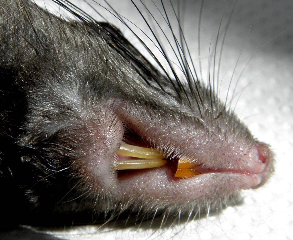 Зубы крысы фото