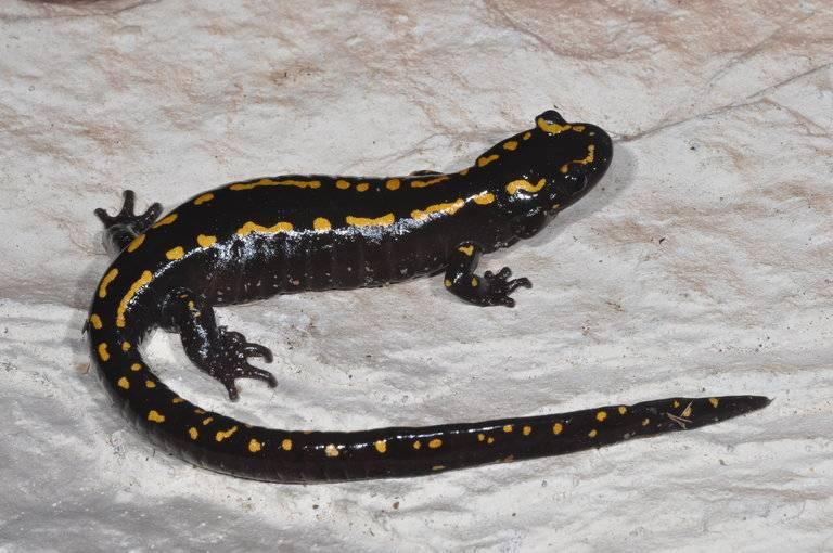 Кавказская саламандра (лат. Mertensiella caucasica)