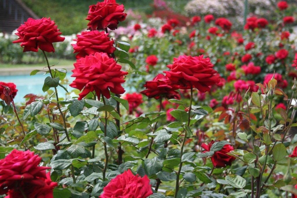 Красные розы фото