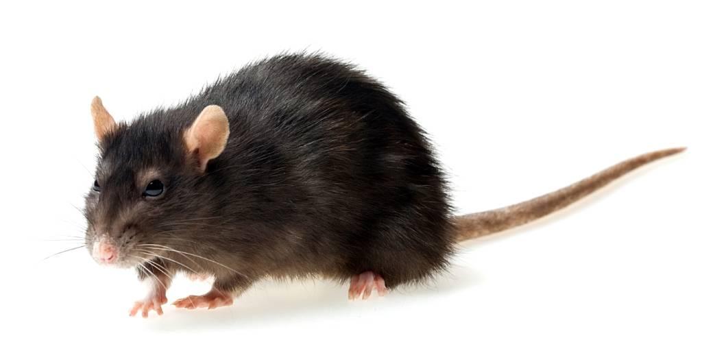 Чем отличается мышь от крысы: как отличить, как выглядят пасюки, мышонок, детеныш