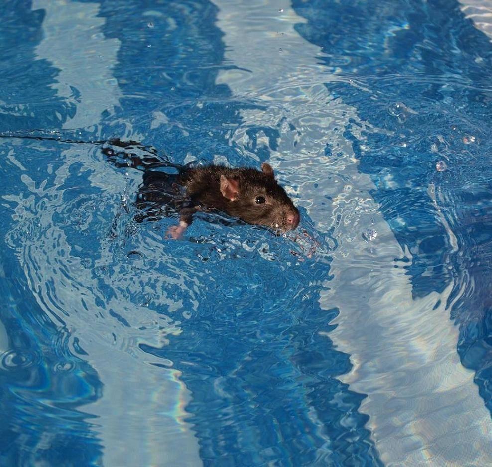 Крысы плавают фото