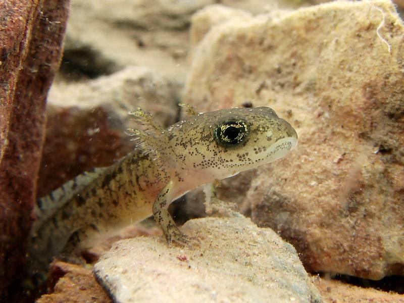 Личинка саламандры