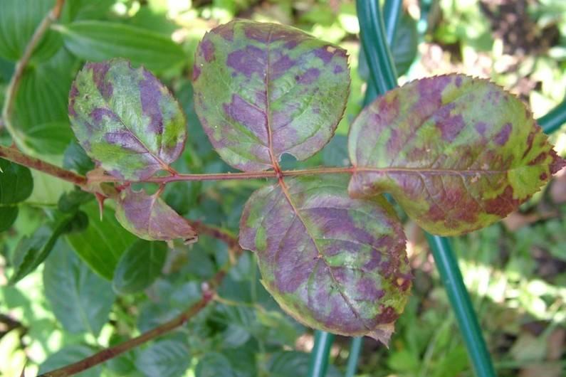 Ложная мучнистая роса на розах (пероноспороз) фото