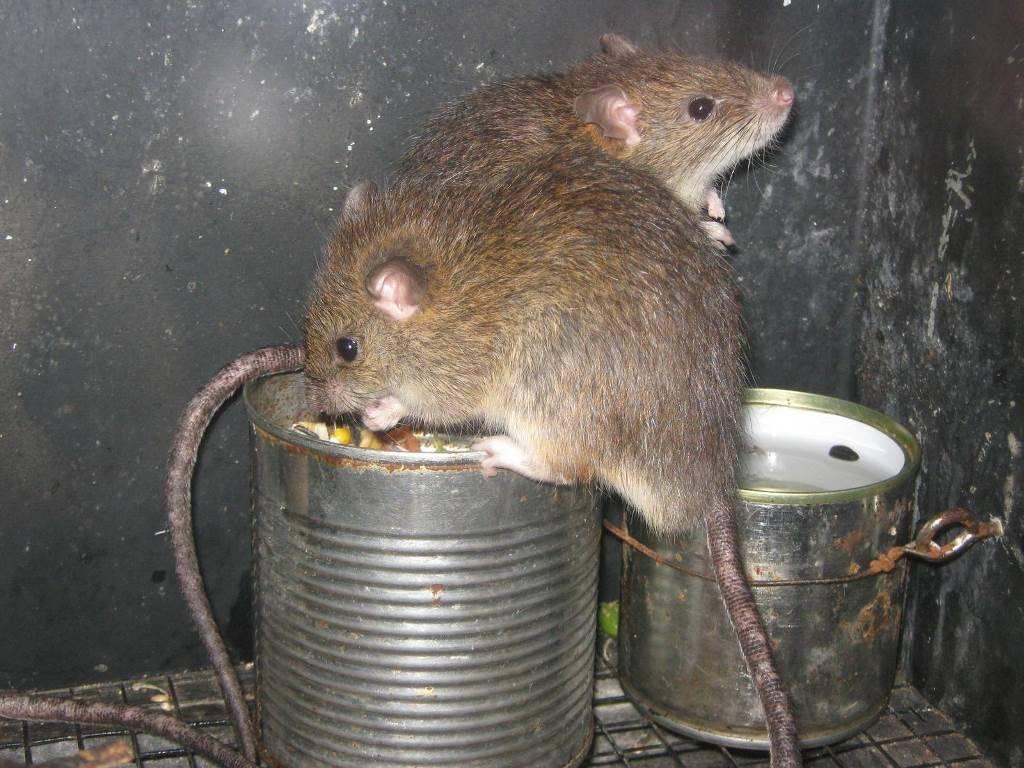 Малая крыса (лат. Rattus exulans)