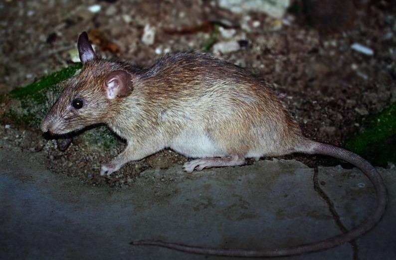 Мягкошёрстная крыса (лат. Millardia meltada)