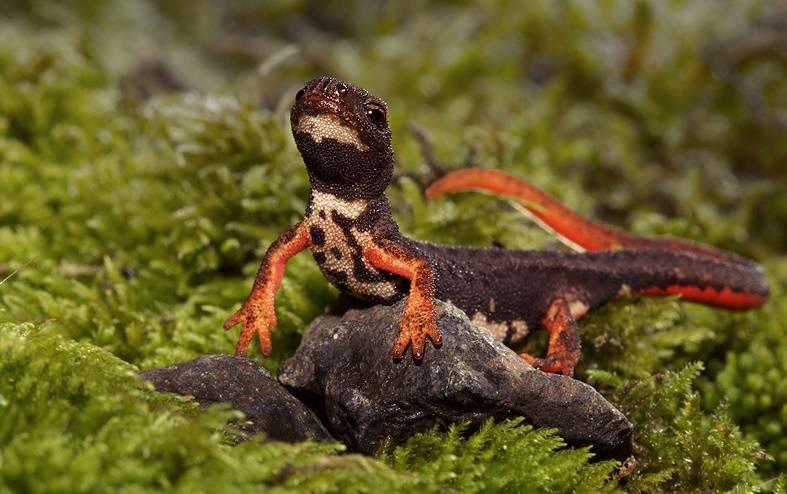 Очковая саламандра тарантолина (лат. Salamandrina terdigitata)