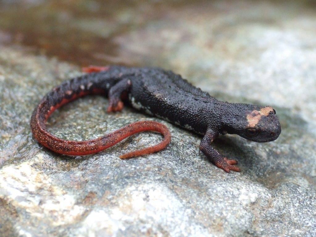 Очковая саламандра