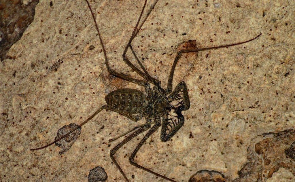 Паук фрин Phrynus longipes