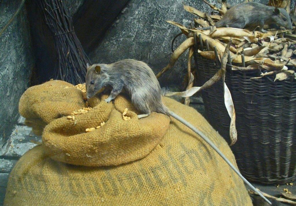 Пища крысы фото
