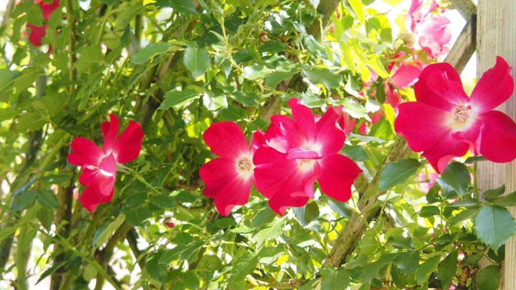 Плетистые розы Hamburger Phoenix (Гамбургер Феникс)