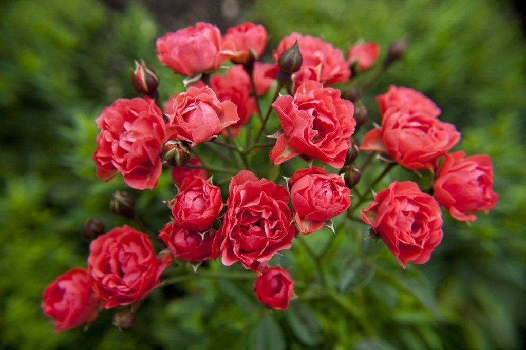 Полиантовые розы Orange Triumph (Оранж Триумф)