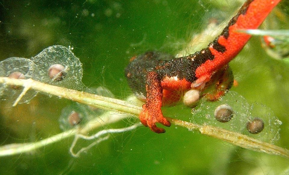 Размножение саламандр