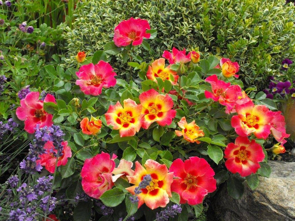 Разноцветные розы Sunshine Babylon Eyes