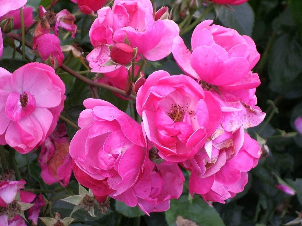 Роза Анжела (Angela) фото