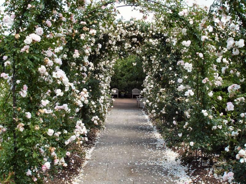 Роза в ландшафтном дизайне (сорт New Dawn)