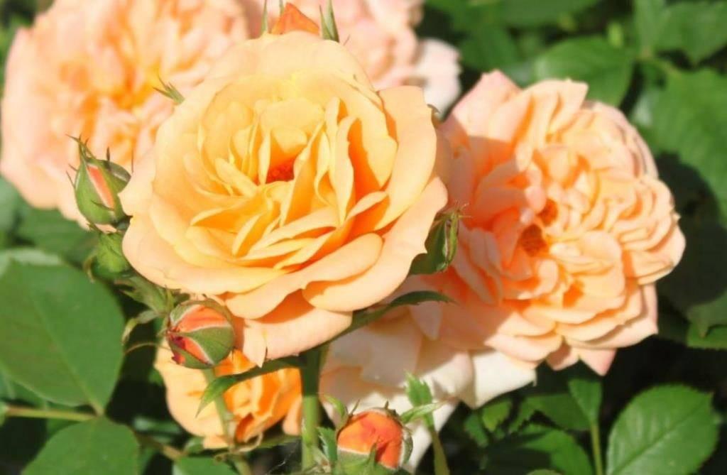 Роза флорибунда сорта Apricot Clementine (Эприкот Клементайн)