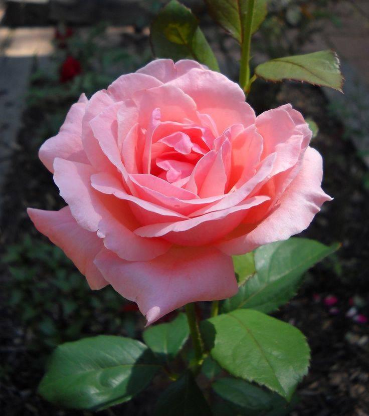 Роза флорибунда сорт Queen Elizabeth (Куин Элизабет) фото