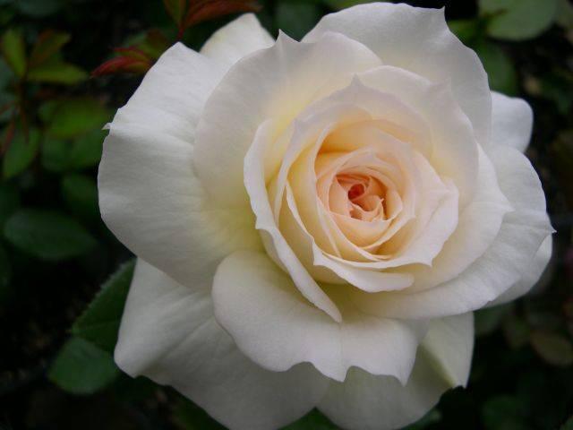 Розы Грандифлора сорт Tchaikovski (Чайковский) фото