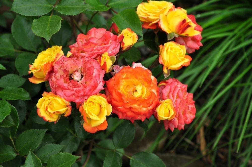 Розы флорибунда сорт Rumba (Румба)