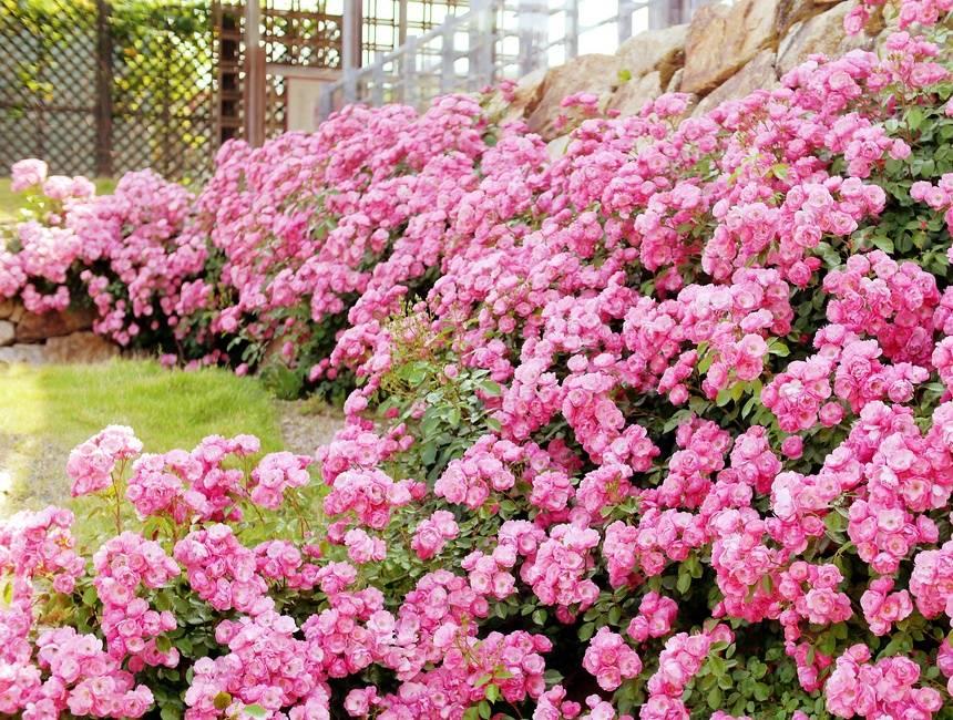 Розы фото (на фото сорт Анжела)