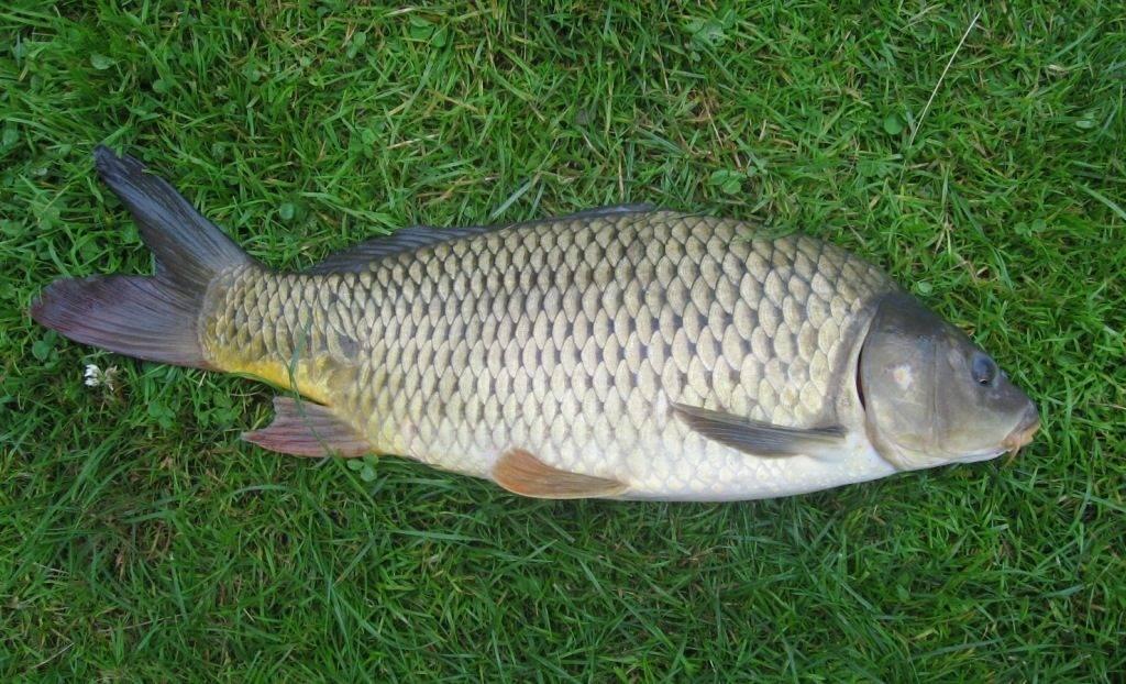 Рыба сазан фото