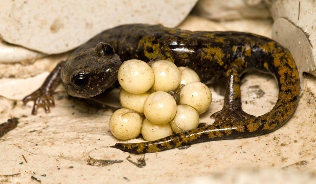 Саламандра самка с яйцами
