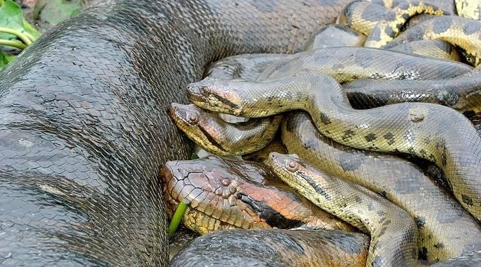 Самка анаконды и 3 самца
