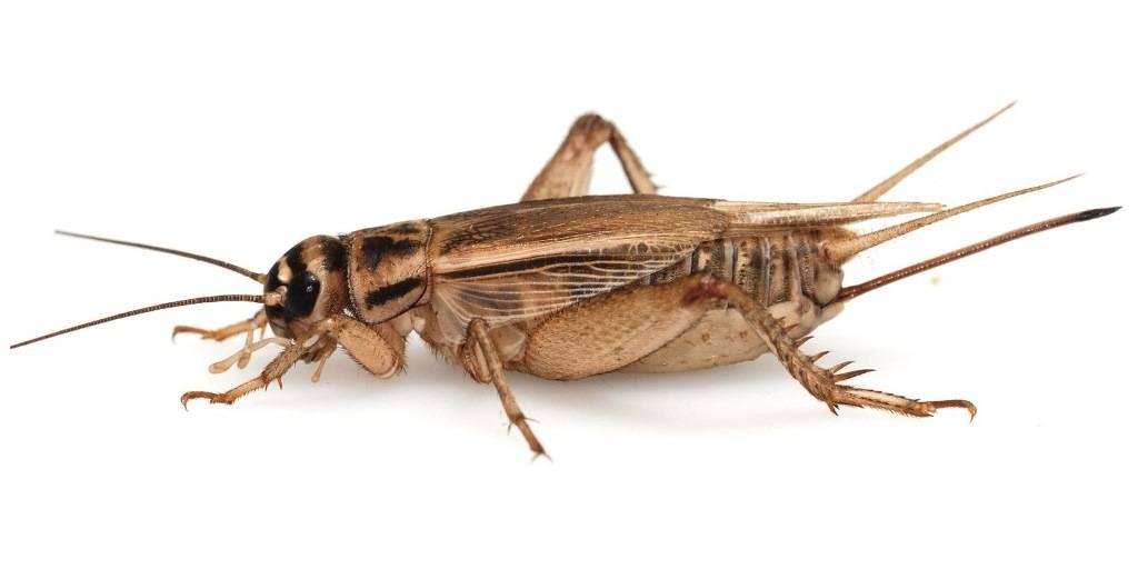 от взрослых особей паразитов личинок