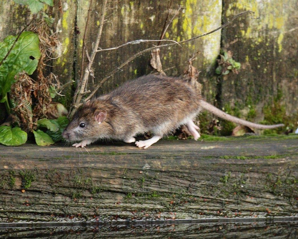 Серая крыса, пасюк (лат. Rattus norvegicus)