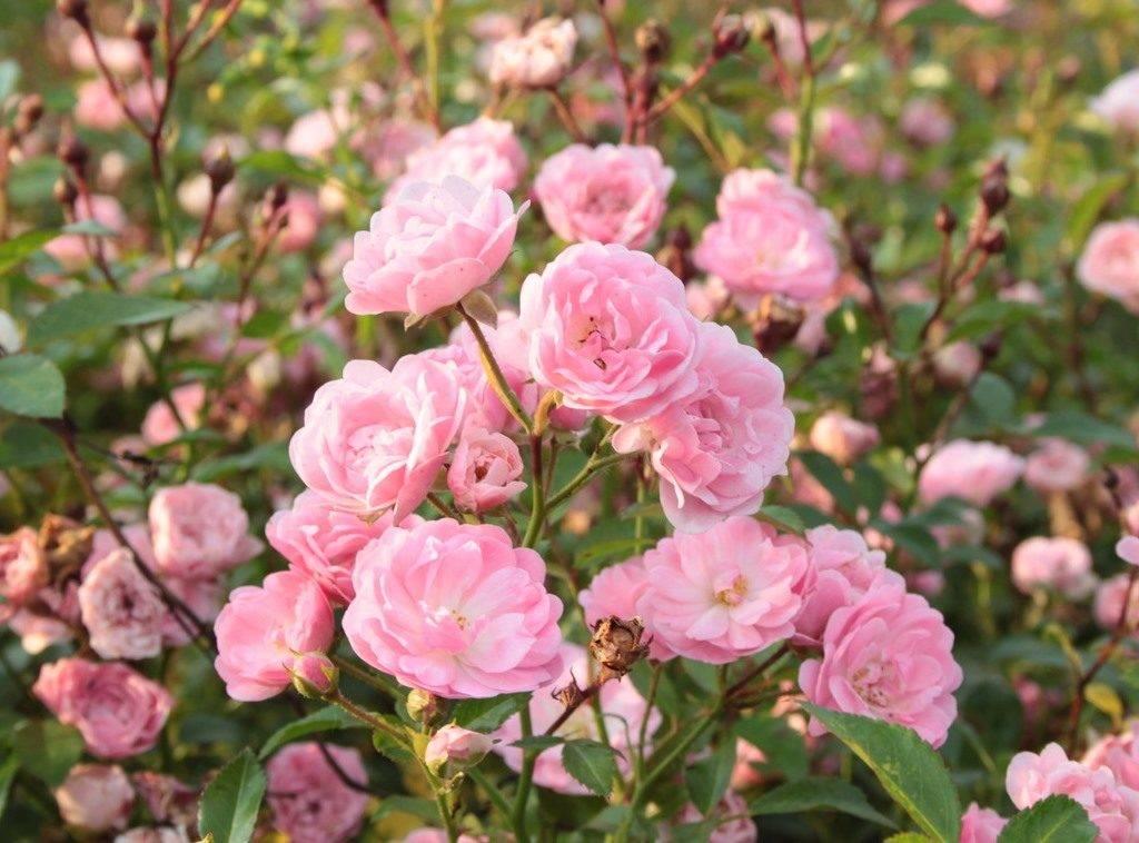 Куст с красивыми цветками